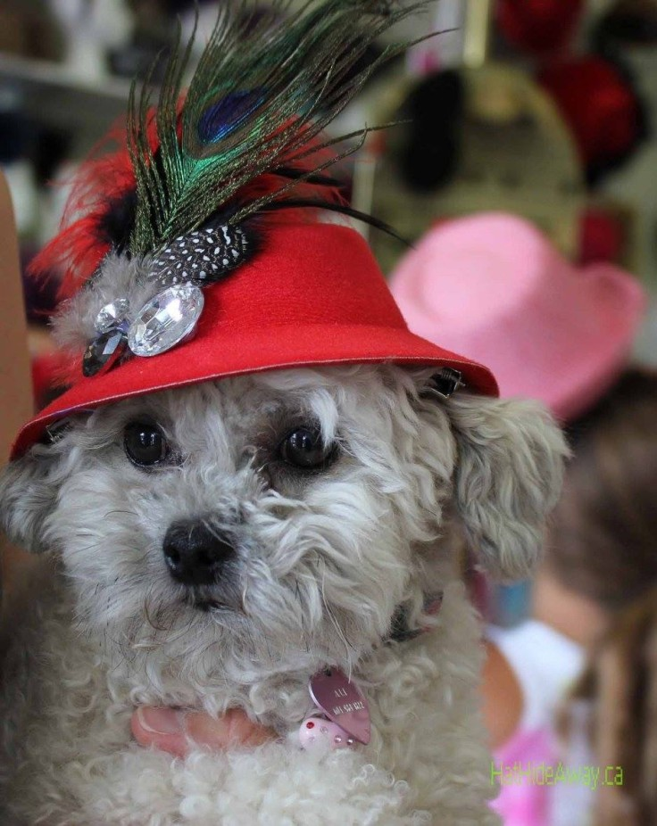 A red hatter's dog