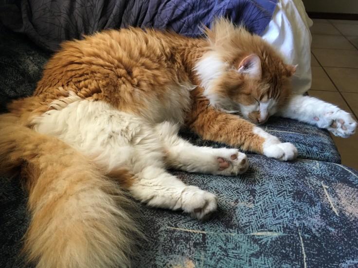 Do cat's get headaches? Migraines?