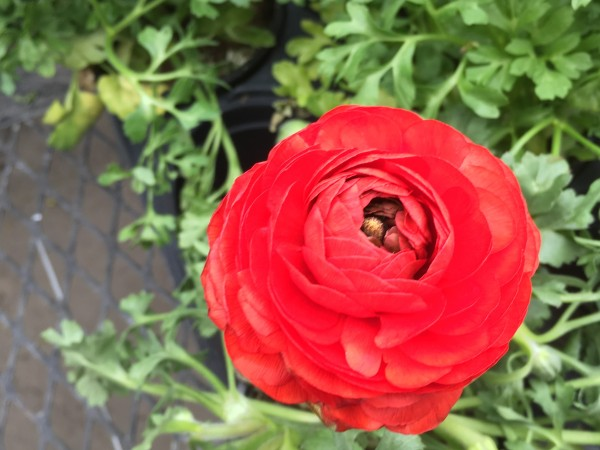Cee's flower of the day March 20